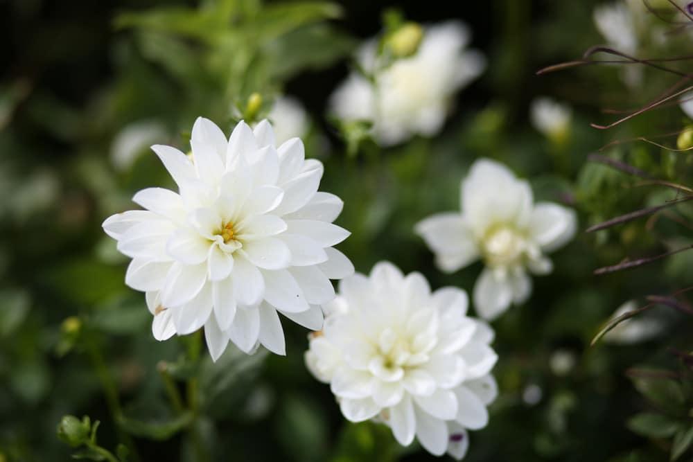Dahlie - Dahlia hortensis
