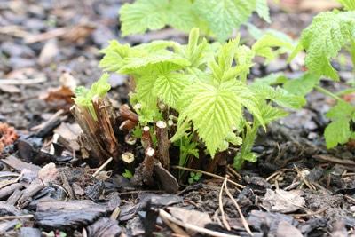 Himbeeren - Rubus ideaus