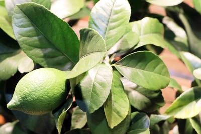 Grüne Frucht des Zitronenbaums