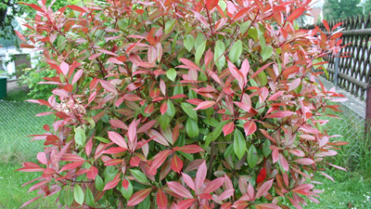 Glanzmispel Photinia Red Robin Pflege Und Schneiden