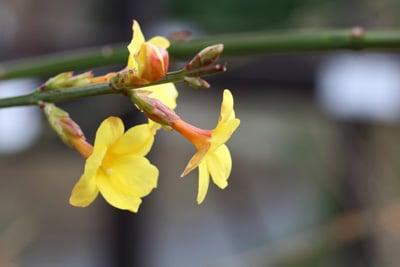 Winter-Jasmin - Jasminum nudiflorum