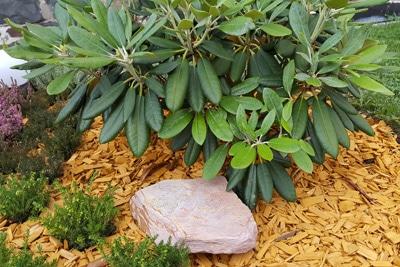 Rhododendron mit Mulch