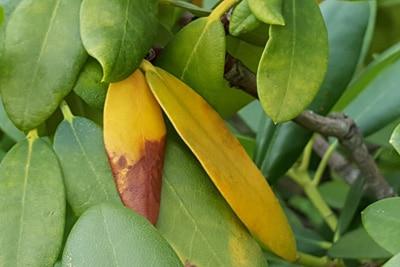 Rhododendron krank - Gelbe und braune Blätter, Pflanze braune Spitzen