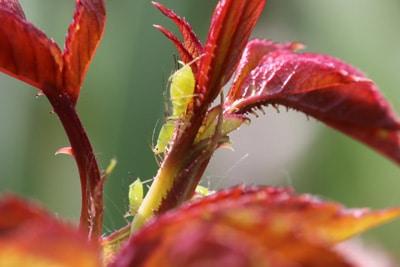 Blattläuse an Pflanze