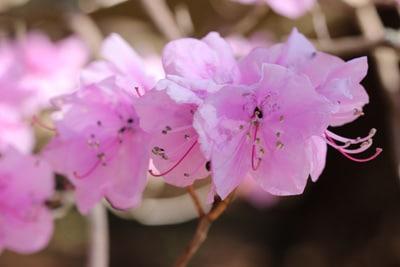 Rhododendron mucronulatum - Kleinspitzige Azalee