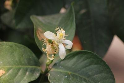 Blüte des Zitronenbaums