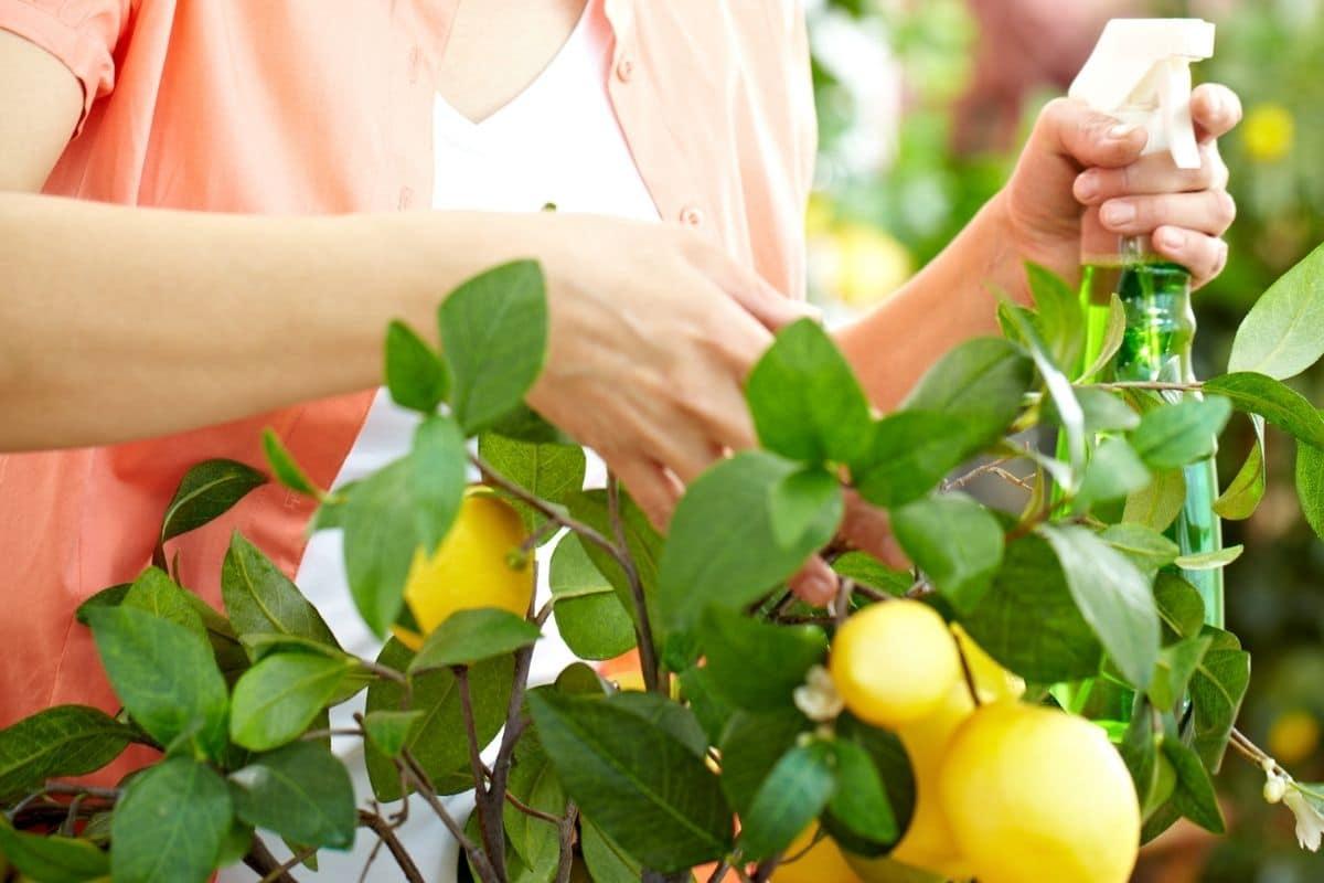 Zitronenbaum Blätter besprühen
