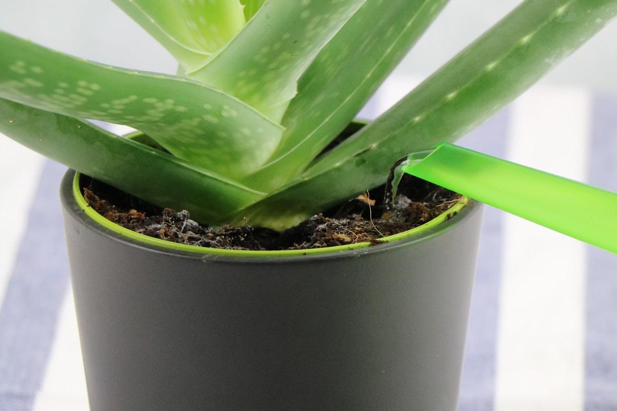 Aloe vera gießen