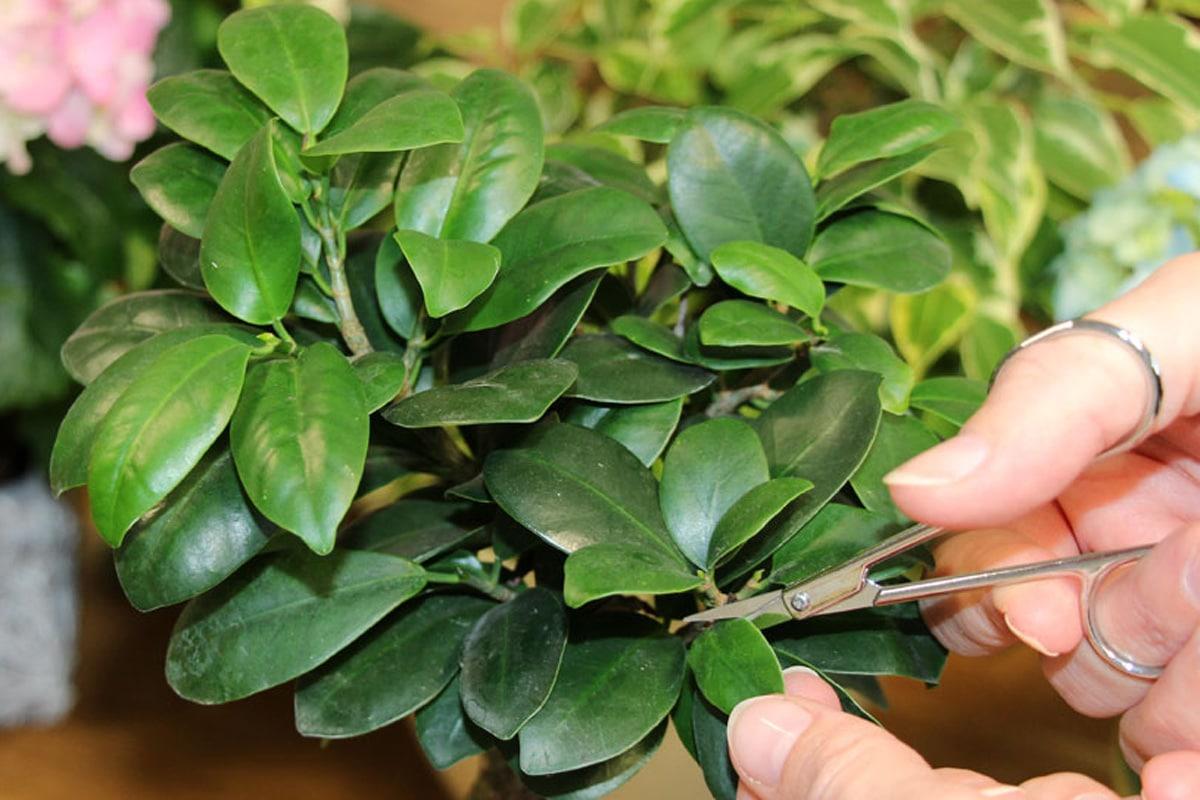 Ficus Ginseng schneiden