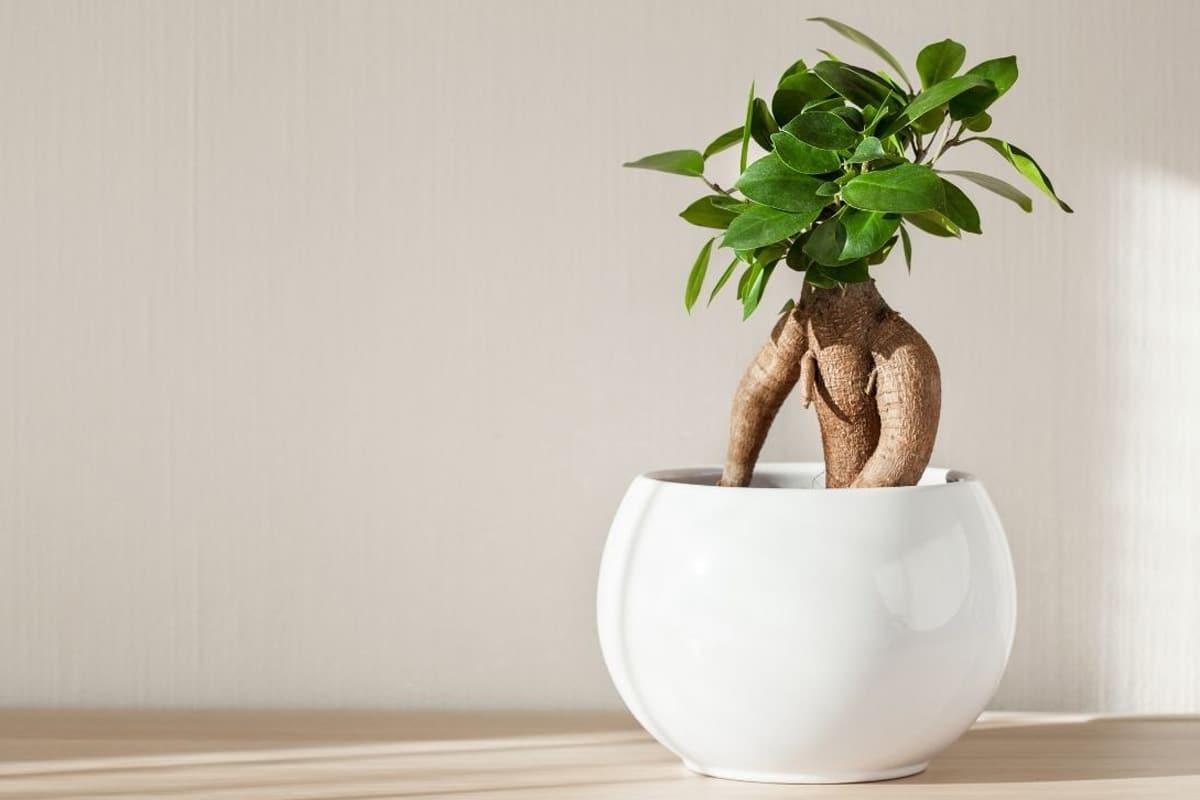 Ficus Ginseng als Bonsai im Licht
