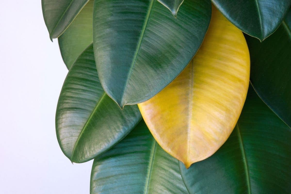 Gelbes Blatt an Ficus elastica