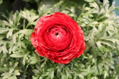 Ranunkel - Ranunculus asiaticus