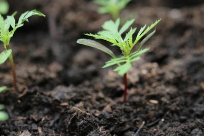 Studentenblume - Jungpflanze