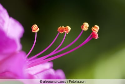 Makroaufnahme einer Wunderblumen-Blüte