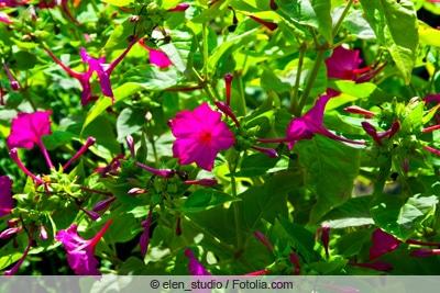 Wunderblume in der Sonne