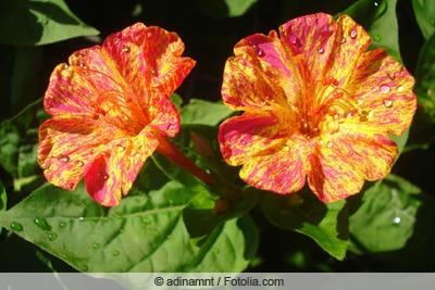 Wassertropfen auf Wunderblume