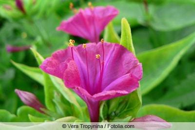 Wunderblume - Mirabilis Jalapa