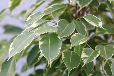 Birkenfeige - Ficus benjamina