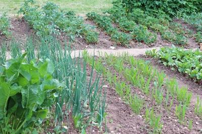 Mischkultur im Gemüse-Beet, Paprika-Mischkultur