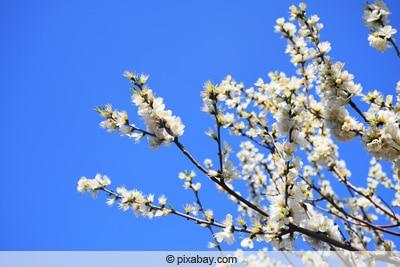 Blüten des Aprikosenbaumes