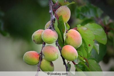 Aprikosenbaum trägt unreife Früchte