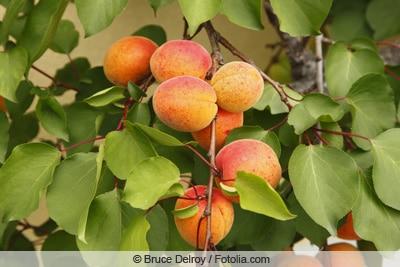 Aprikosenbaum trägt Früchte