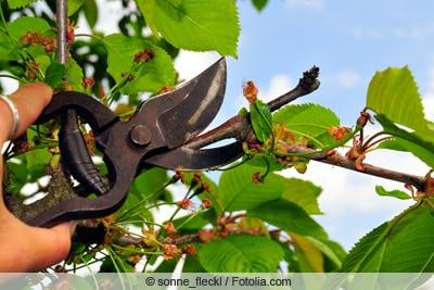 Schnitt des Kirschbaums