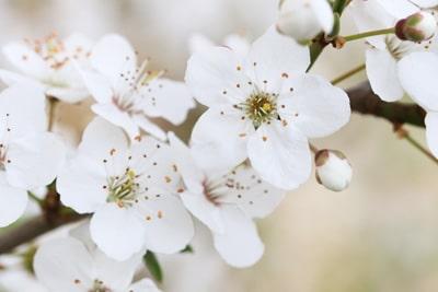 Blüten des Kirschbaums