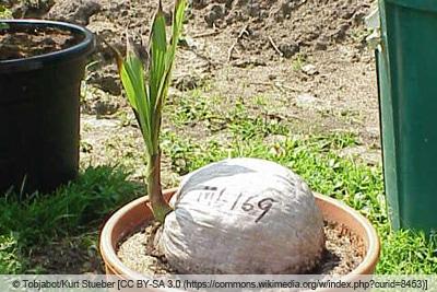Kokosnuss-Keimling