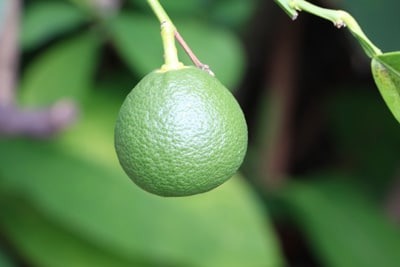 Unreife Orange an Orangenbaum
