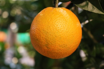 Orange an Orangenbaum