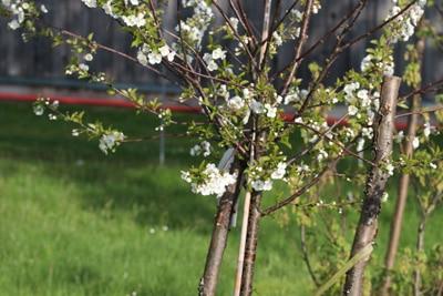 Sauerkirsche im Garten