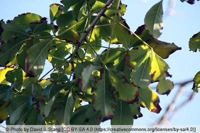 Affenbrotbaum mit braunen Blättern