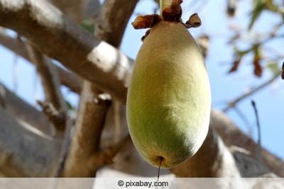 Frucht des Affenbrotbaums