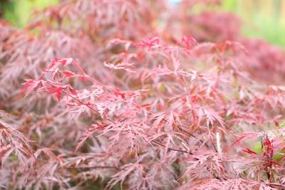 Japanischer-Fächerahorn-Acer-Palmatum