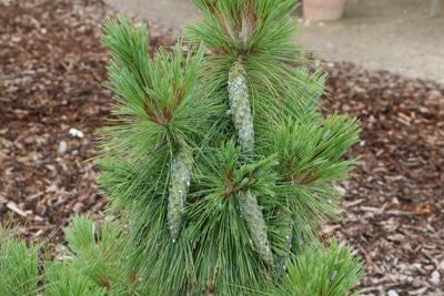 Zapfen-Kiefer - Pinus schwerinii wiethors
