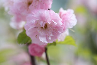 Blüte des Mandelbaums