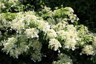 Kletterhortensie - Hydrangea petiolaris