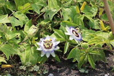 Passionsblume - Passiflora