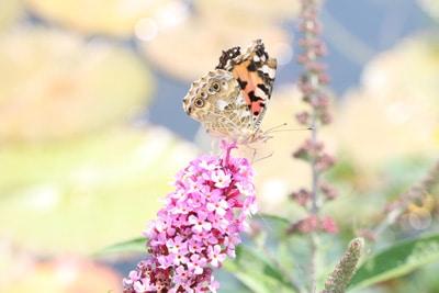 Sommerflieder - Schmetterlingsflieder