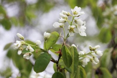 Blütenstände der Ährigen Felsenbirne