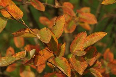 Kupferfarbenes Blattwerk der Kupfer-Felsenblume