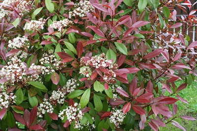 Glanzmispel - Photinia