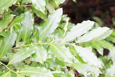 Kirschlorbeer - Prunus laurocerasus