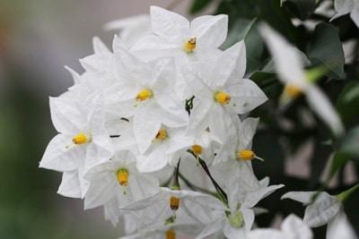 Sommerjasmin Jasmin Solanum Jasminoides Pflege Schneiden Gartenlexikon De