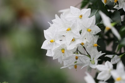 Blüte des Sommer-Jasmin
