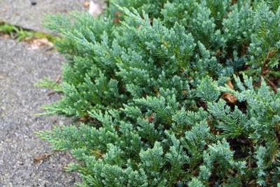 Kriech-Wacholder - Juniperus horizontalis