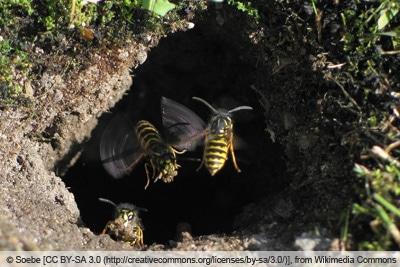 Erdwespen in unterirdischem Nest