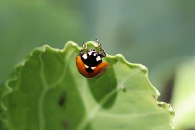 Marienkäfer als Fressfeind der Blattläuse
