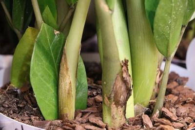 Zamie - Zamioculcas zamiifolia